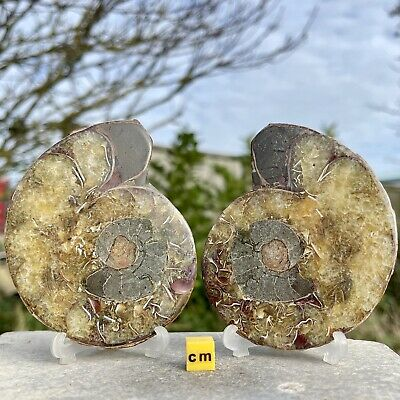 Polished Ammonite Fossil from Madagascar - Cretaceous Period - FSE007