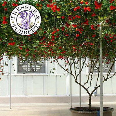 Rare Tomato Italian GIANT tree - 5 seeds - UK SELLER
