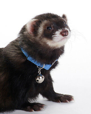 Marshall Pet Ferret Collar With Bell Blue Jingle Free Shipping To Usa Only