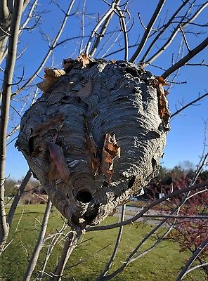 HORNET/ WASP NEST/HIVE from Iowa