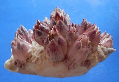 01145 Seashell Strombus epidromis w/ barnacle, 84 mm