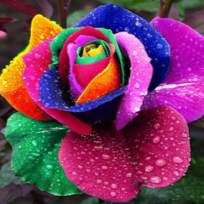 50Pcs Rare Colorful Rainbow Rose Lover Flower Good Seeds Plant Yard Garden Decor