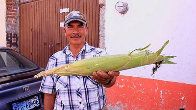 150 SEEDS GIANT PERUVIAN WHITE MAIZE Corn- World's Largest- Sole Source-RARE
