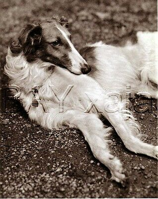 DOG Borzoi Russian Wolfhound, Lovely Quality Vintage 1941 Print
