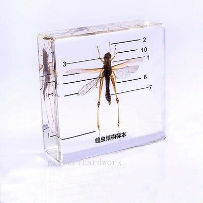 The Specimens Of The Locusts Structure In Clear Lucite Educational Instrument