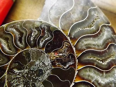 Polished Jurassic Ammonite Millions of years old Fossil Crystalline Gorgeous B