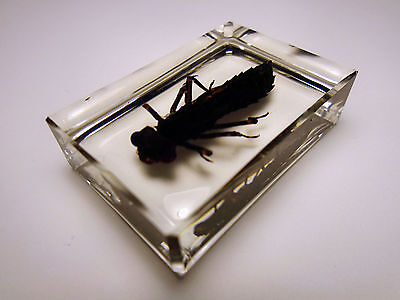 DRAGONFLY NYMPH. Real & rare insect larva taxidermy. Clear resin encapsulation
