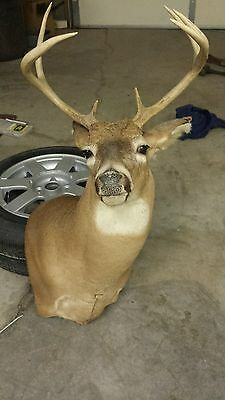 7 point deer mount, taxidermy, collectable, hunting, buck, antlers