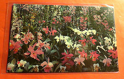 Hawaii Orchids in Bloom Chrome  Vintage Postcard PC1344