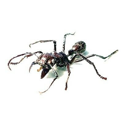 Real Framed Paraponera Clavata Bullet Ant or 24 Hour Ant 2424
