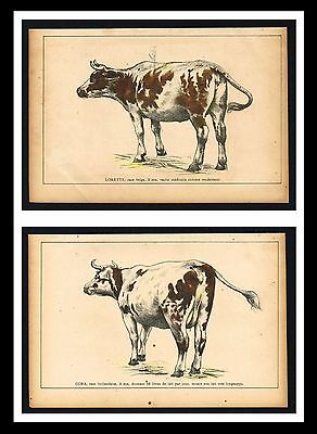 BELGIAN & DUTCH CATTLE BREED, COW - 1909 Antique Print