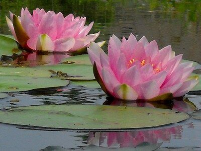 Gonnere Pink  water lily - pond plants water lilies aquatic plants