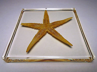 FLAT STARFISH Asteroidea Real SEA STAR ( echinoderms ) clear resin encapsulation
