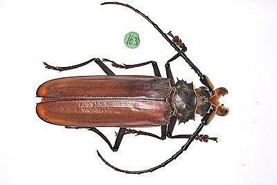 Callipogon Orthomegas monnei - male,A1  Extremely Rare!, xxl,70mm,Prioninae #163