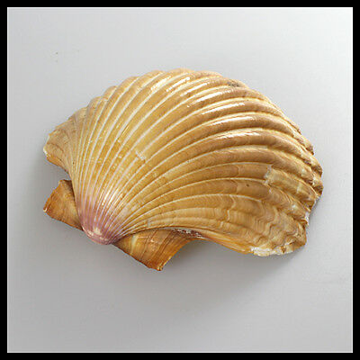 antique big vintage Yellow Natural Clam Shell Seashell Mother of Pearl Oyster