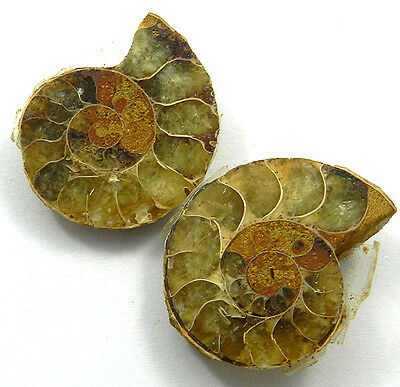 10.09GM Unique 1 Pair NATURAL AMMONITE FOSSIL 21x29MM handmade jewelry gemstone