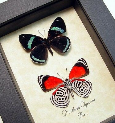 Real Framed Diaethria Clymena Pair The 88 Butterfly 339P