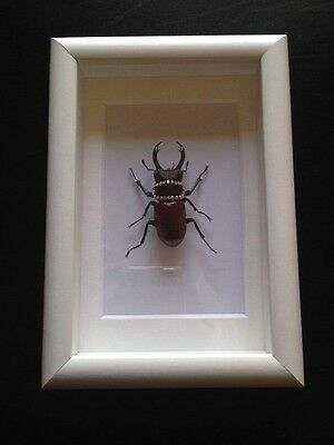 Framed Stag Beetle With Swarvoski Crystals.... Insect Taxidermy!