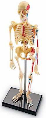 Skeleton Anatomical Human Model Anatomy Medical Stand Skull Quality Teaching NEW