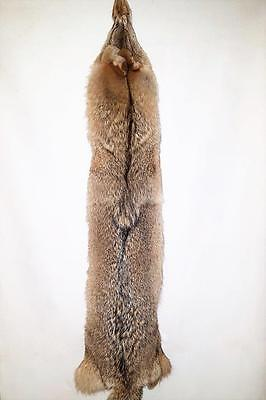 """Superior XL 59"""" Coyote. 45"""" NTB measure -From Prof Taxidermist -Prime Winter #1"""