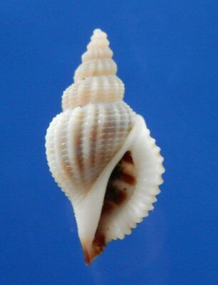 01334 Seashell Varicospira crispata, 16.9 mm