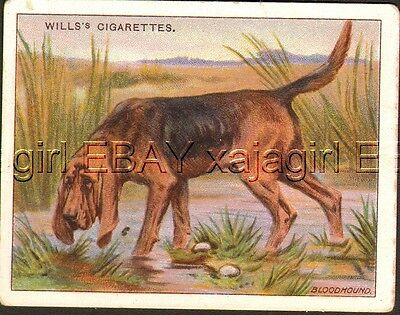 DOG Bloodhound Tracking Dog, Antique 1914 Trading Card
