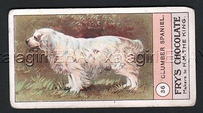 DOG Clumber Spaniel, Very Rare Trading Card, 1908