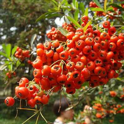 50 Pyracantha Seeds Easy To Care For Hardy And Adaptable All Natural