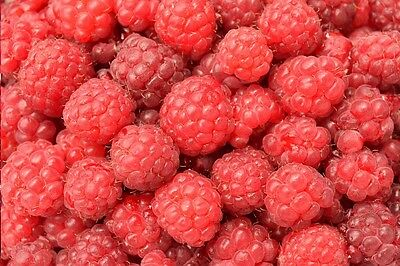 6 x Raspberry Canes 'Tulameen' Bareroot Large Fruit/Crops Quality Sweet Fruit