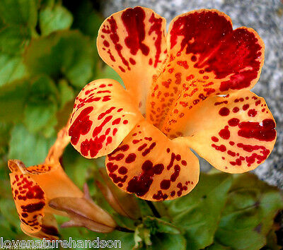 TIGER MONKEY FLOWER Mimulus Tigrinus Spotted, Unique Exotic Looking 200 Seeds