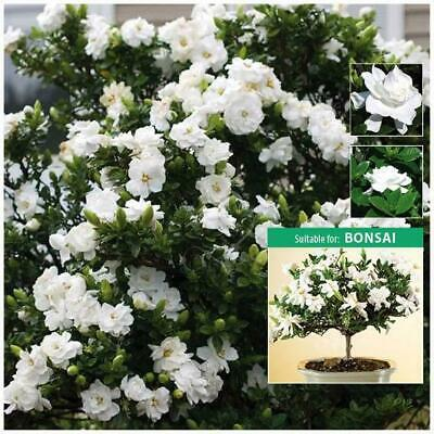 "Gardenia Jasminoides ""Cape Jasmine"" seeds 