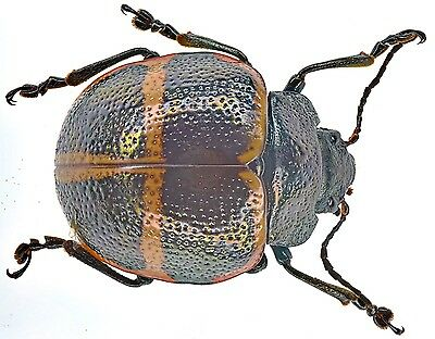 Beetles - Chrysomelidae- sp.mexico a1