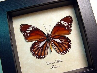 Real Framed Danaus Affinis Verso The Malay Tiger Butterfly 8402