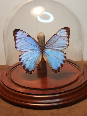 Morpho portis thamyris  Butterfly Dome