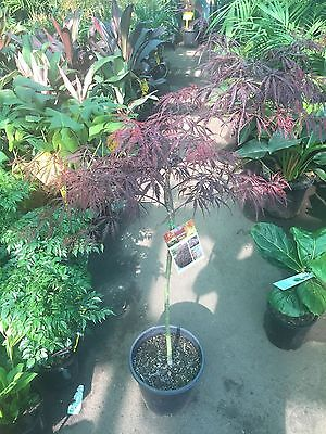 Acer 'Inaba Shidare' Weeping Japanese Maple