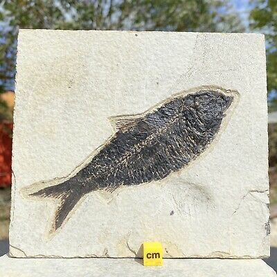 Diplomystys Fish Fossil from USA - Eocene Period - FSR026