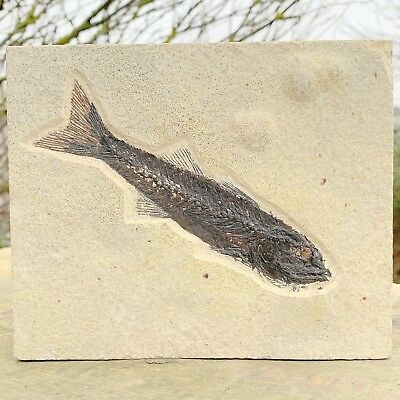 Mioplosus Fish Fossil in Matrix - found in USA - Eocene Period - FSR029