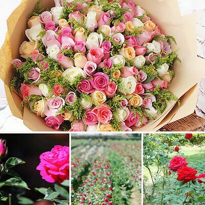 50Pcs Colorful Rare Rose Flowers Seed Garden Yard Plants Decor Bedroom Fragrance