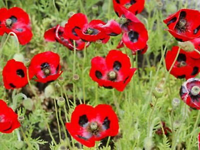 """Poppy Seeds """"flanders Red"""" Approx 1500 Seeds"""