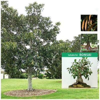 "Ficus Macrophylla ""Moreton Bay Fig"" seeds 