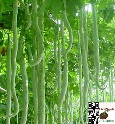 snake gourd/Trichosanthes cucumerina/ chichinda/Pudalangai Kootu/5 Finest seeds