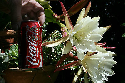 EPIPHYLLUM 1 CUTTING Night Scented Orchid Cactus Cacti Succulent Large Flowers