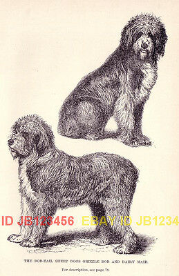 DOG Old English Sheepdog Named, 1890s Antique Print