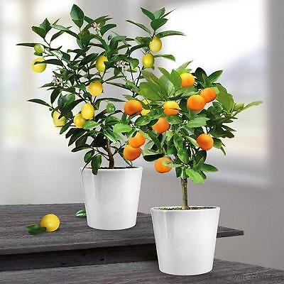Lemon and Orange Trees Evergreen Combo Citrus Fruit With Pots Plants Grow Home