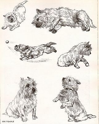 DOG Cairn Terrier Dogs Sketched Views, Beautiful Art Print 1930s