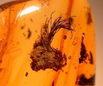 Amazing Liverworts with Flower Bud ++++ in Dominican Amber GEM Museum Quality