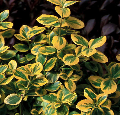 10 Seeds Euonymus fortunei, winter creeper, Canadale Gold plant