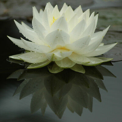 Gonnere White water lily - pond plants water lilies aquatic plants