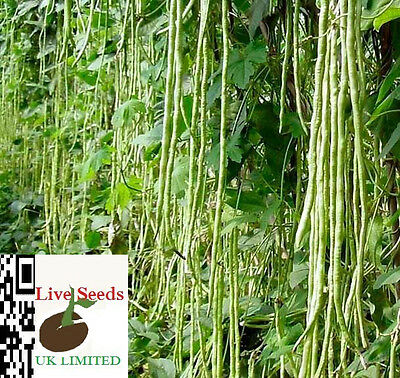 Vegetable - Climbing French Bean - Yard Long – 20 Finest  Seeds