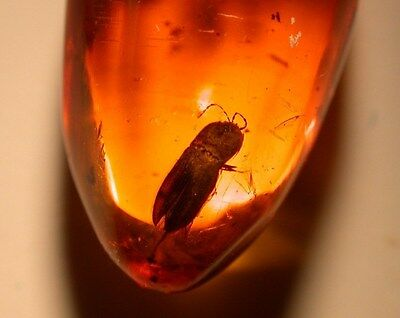 Authentic Dominican AMBER Drilled BEAD Gem with Click and Platypodid Beetles